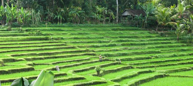 mooiste rijstvelden van bali