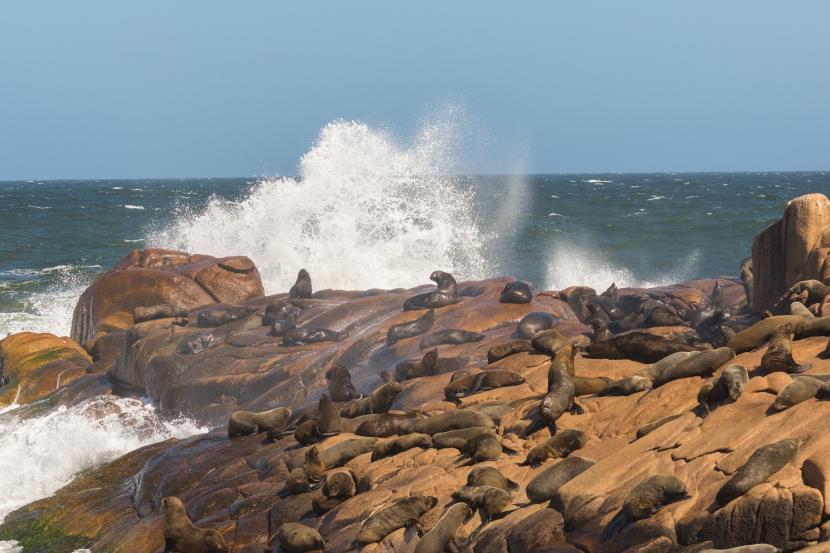 Kelompok singa laut Cabo Polonio