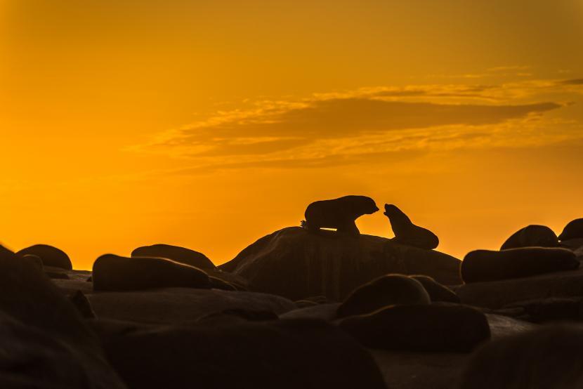 Singa laut Cabo Polonio
